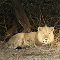 Asiatic Lions Pride of Sasan Gir, Gujarat, India